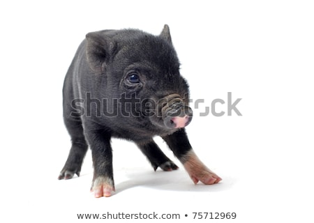 black piglet in studio stock photo © cynoclub