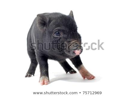 Siyah domuz yavrusu stüdyo beyaz domuz hayvan Stok fotoğraf © cynoclub