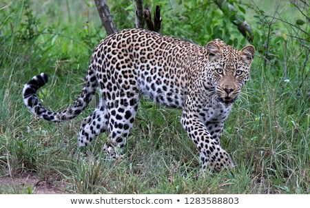 Walking Leopard in the Kruger National Park, South Africa. Stock photo © simoneeman