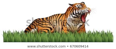 Wild tiger roars in the field Stock photo © bluering