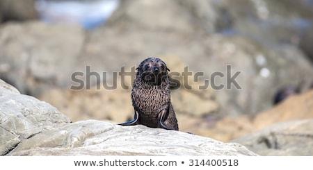 sello · rocas · Australia · mirando · atrás · playa - foto stock © dirkr