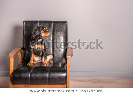 Classy dog Stock photo © Shevs