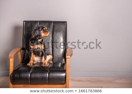 bonitinho · cão · tiro · cansado · jack · russell · terrier - foto stock © shevs