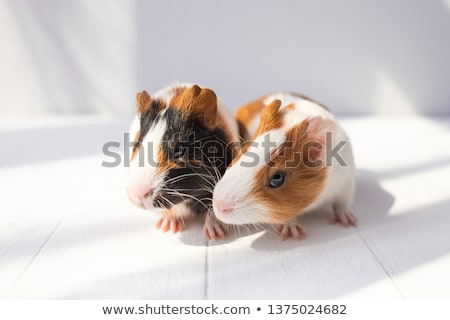 close up of two cute guinea pigs on black background Stock photo © feedough