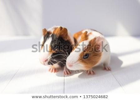 iki · çok · güzel · Gine · domuzlar · beyaz · arka · plan - stok fotoğraf © feedough