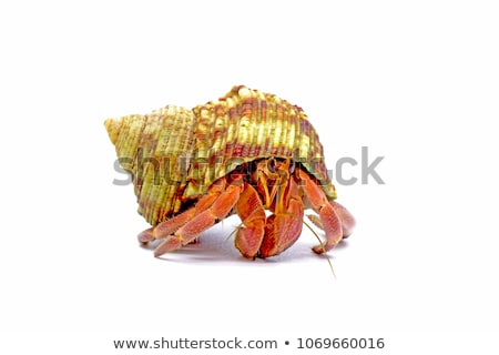 Hermit crab Stock photo © colematt