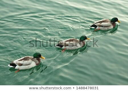 Tre nuoto stagno illustrazione acqua natura Foto d'archivio © colematt