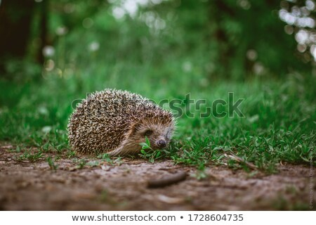 A Young hedgehog in grass on the summer season Stock photo © Lopolo