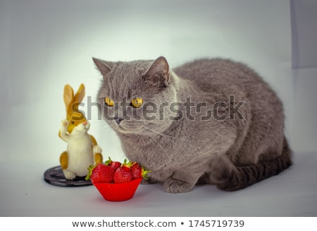 grey shorthair bunny stock photo © CatchyImages