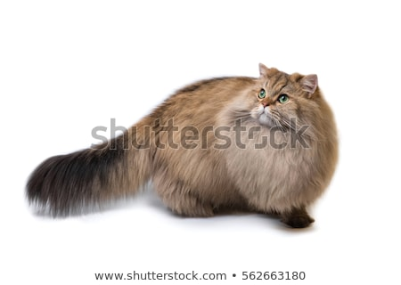 Adorable golden British Longhair cat kitten isolated on white background  Stock photo © CatchyImages