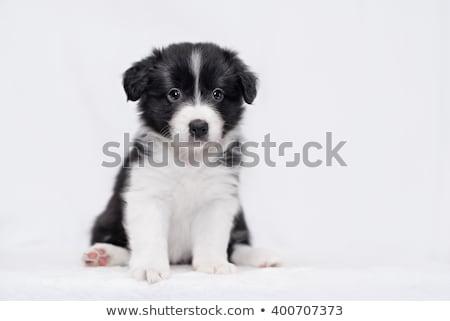 Stúdiófelvétel aranyos juhászkutya kutyakölyök ül szürke Stock fotó © vauvau