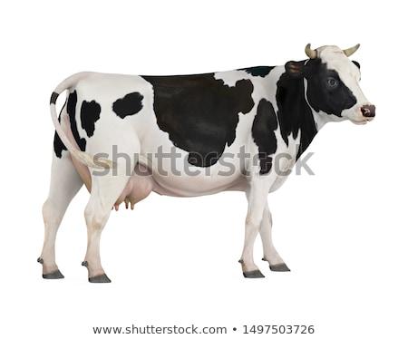 Vacă alb negru iarbă verde cer Imagine de stoc © mariephoto
