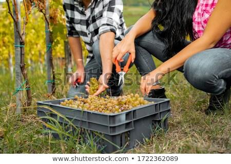 Gazda térdel szőlőskert férfi ipar szőlő Stock fotó © photography33