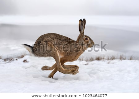 Brown hare (lepus europaeus)  stock photo © lightpoet