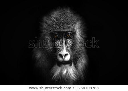 Afrika oroszlán csimpánz afrikai naplemente fa Stock fotó © ajlber