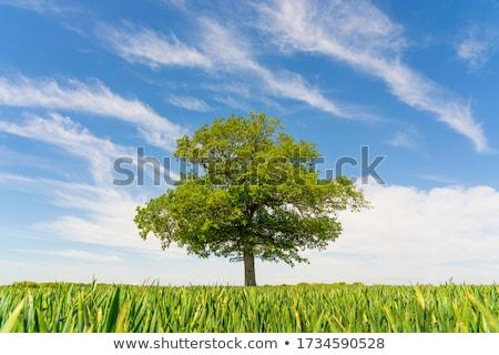 Ağaç tek başına alan doğa Stok fotoğraf © timwege