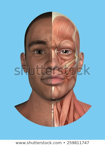 masculino · muscular · anatomia · ver · ilustração - foto stock © randallreedphoto