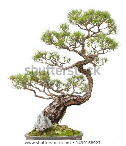 китайский бонсай саду древесины лист завода Сток-фото © raywoo