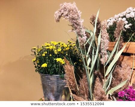 Cyna żółty chryzantema trzy odizolowany biały Zdjęcia stock © zhekos