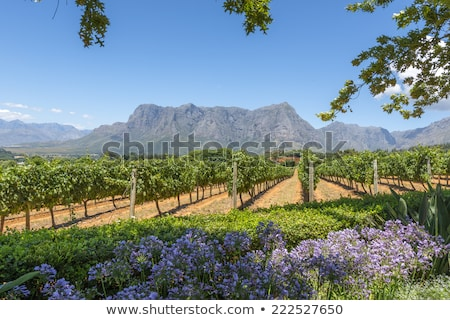 Cape Vineyard - South Africa Stock photo © garethweeks