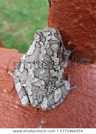 Tree Frog on Deck  Stock photo © tab62