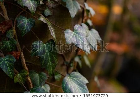 ツタ 英語 赤 葉 自然 工場 ストックフォト © digoarpi