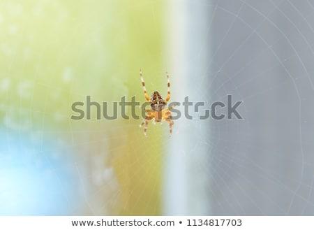 Abdomen of an Orb Weaver Spider Stock photo © rhamm