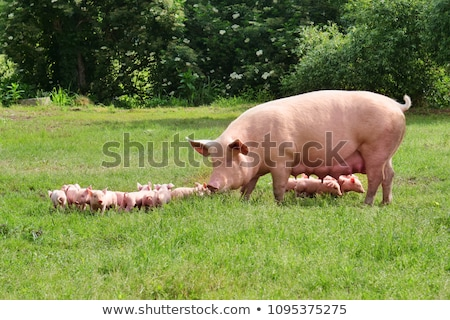 Pig with piglets Stock photo © vadimmmus