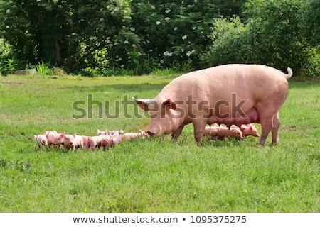 свинья каменной стеной продовольствие фермы ходьбе молодые Сток-фото © vadimmmus