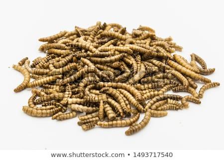 Mealworms Stock photo © raptorcaptor