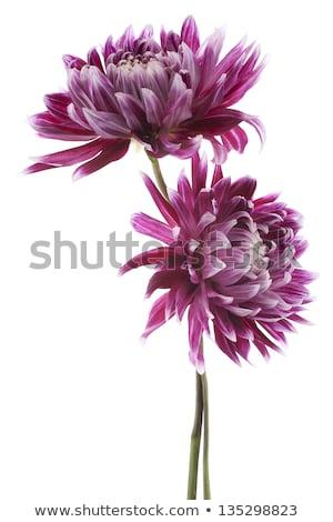 Rood · kastanjebruin · dahlia · bloem - stockfoto © stocker