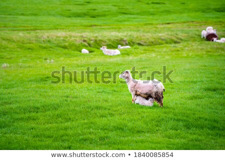 Stockfoto: Mother Sheep And Baby Lamb Nursing In A Field