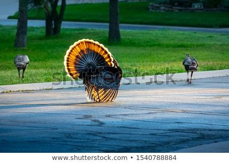 Stock photo: backlit turkey hen