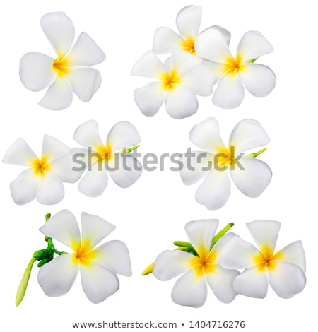 White frangipani  plumeria flower  Stock photo © tungphoto
