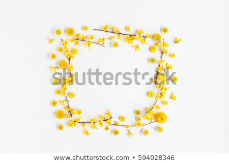 forsythia yellow flowers stock photo © alessandrozocc