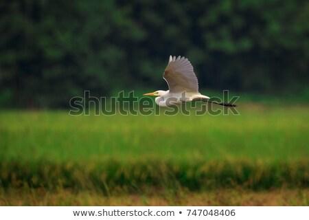 Vuelo cielo aves blanco hermosa Foto stock © shihina