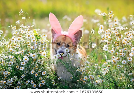 Stock photo: pink white daisy flower