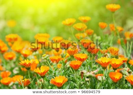 Orange flower bed Stock photo © manfredxy