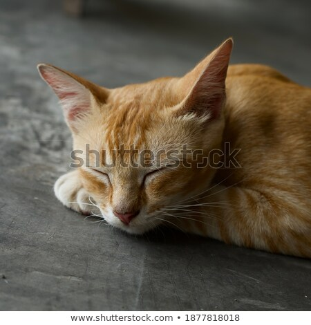 Stock photo: close up head golden cat sit on the floor