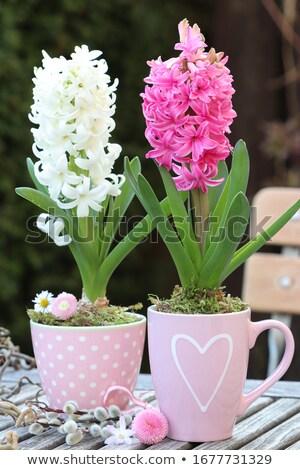 Beyaz sümbül yaprakları bahar yeşil stüdyo Stok fotoğraf © manera
