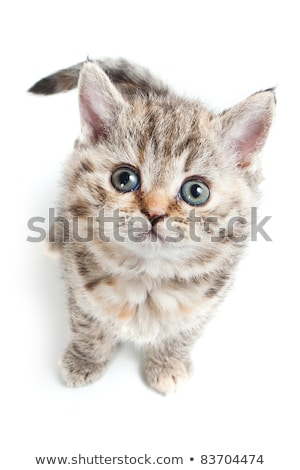 Adorable grey and white kitten looking up Stock photo © dnsphotography