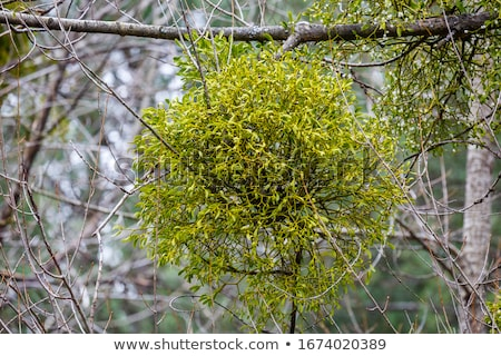 viscum album is a species of mistletoe stock photo © alessandrozocc