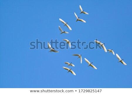Egret in Flight Stock photo © JFJacobsz
