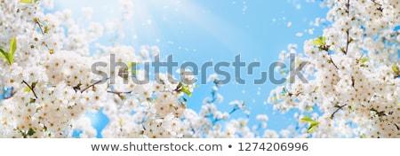 Virágzó fehér fa virágok rózsaszín ág Stock fotó © neirfy