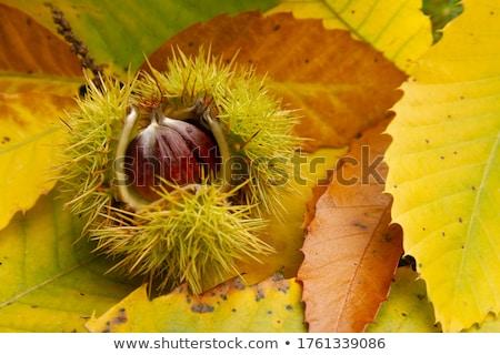 лес иллюстрация каштан листьев Cartoon свежие Сток-фото © adrenalina