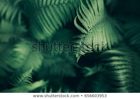Close-up fern leaf in garden Stock photo © punsayaporn