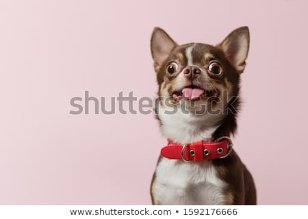 собака языком счастливым улыбка Сток-фото © idesign