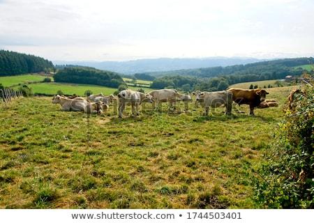 cows, Burgundy, France Stock photo © phbcz