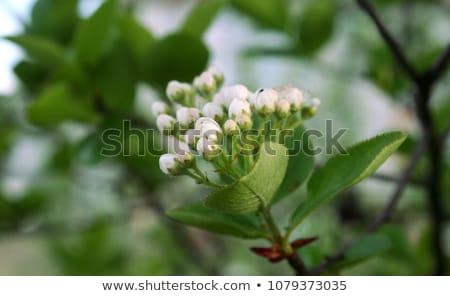 chokeberries flower  Stock photo © LianeM