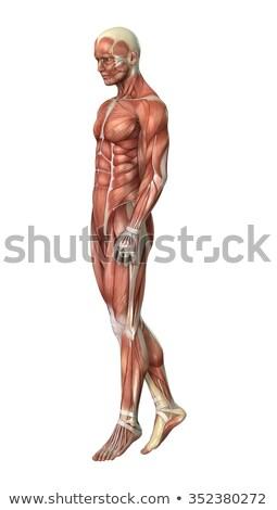 筋肉 · 男 · 3dのレンダリング · 現実的な · 4 · ポイント - ストックフォト © kjpargeter